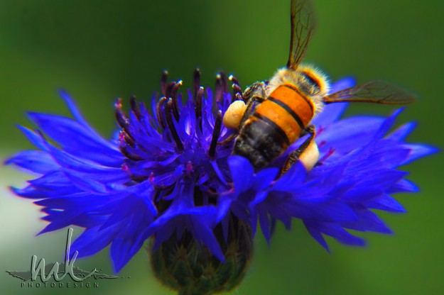 Megan Kelly, Bee, Flower, Macro, Close Up